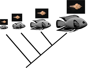 brain evolution in cichlid fishes